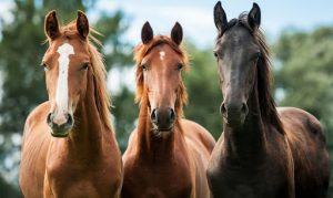 Primeros auxilios en equinos