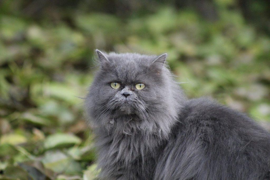 Raza de gato Persa