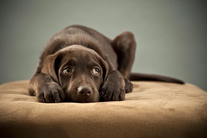 Perro en depresión